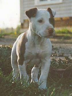 The front right side of a white with brown American Pit Bull Terrier Puppy that is outside on grass and it is looking to the right.