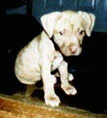The front left side of an American Pit Bull Terrier puppy that is sitting on a rug in front of a door and it is looking forward.