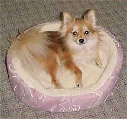A brown with tan Pomeranian is laying against the back of a dog bed and it is looking up.