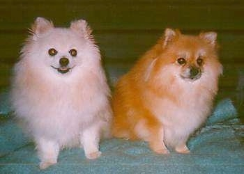 Front view of two sitting fluffy dogs - A cream Pomeranian is next to a sable Pomeranian on a green blanket and they are looking forward.