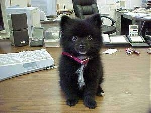 Front view - A small black with white Pomeranian puppy is sitting on an office desk and it is looking forward.