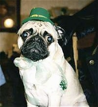 Close up - A tan with black Pug is sitting on a carpet and it is looking down. It is wearing a green Saint Patty's Day hat and a white lace ribbon with a four leaf clover on it around its neck.