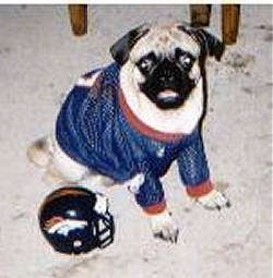 The right side of a tan with black Pug that is sitting on a carpet, it is looking forward and it looks like it is smiling. The pug is wearing a John Elway Jersey and there is a Denver Broncos helmet to the left of it.