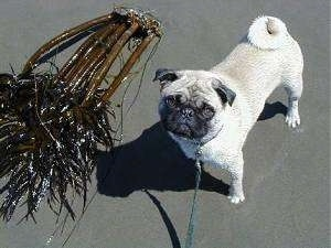 A tan with black Pug is standing on a sandy beach next to a sea plant. The Pug is looking up.