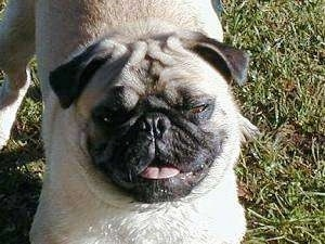 Close up head shot - A smiling tan with black Pug is standing in grass and it is looking up. Its mouth is open