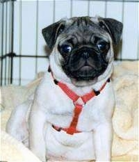 Front view - A tan with black Pug puppy is sitting on a blanket in a crate and it is looking forward.