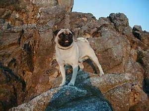 A tan with black Pug is standing on a rock in front of a large cliff looking to the right. Its mouth is open and it looks like it is smiling.