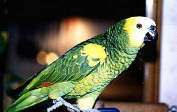 Close up side view - A green and yellow with white and red yellow crowned Amazon Parrot is standing on a stick and looking to the right.