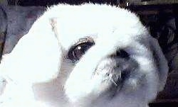 Close up head shot - A shorthaired fuzzy white Pekingese is looking up and to the right.