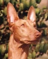 Close up front view head shot - A red with white Pharaoh Hound is sitting in grass and looking to the right.