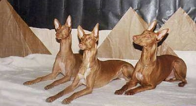 Three brown with white Pharaoh Hound dogs are laying on a white blanket with their heads tilted and looking up and to the left. There are three cardboard triangles behind them that are meant to be Egyptian Pyramid props.