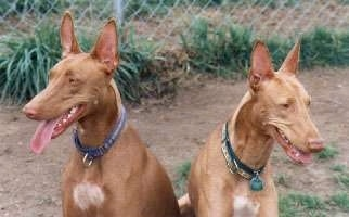 Two brown with white Pharaoh Hounds are sitting in dirt. They are looking in different directions. Their mouths are open and tongues are out.