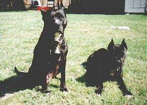 Two black colored American Pit Bull Terriers in a yard. One is sitting and the other is layign down.