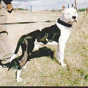 The right side of a black and white American Pit Bull Terrier that is standing on grass, it is looking forward and there is a person standing behind it.