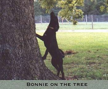 A black Plott Hound is climbing up against the side of a tree. The words - BONNIE ON THE TREE - are overlayed at the bottom of the image.