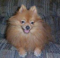 Front view - An apricot Pomeranian is laying on a couch and it is looking forward and down. Its mouth is open and its tongue is out.
