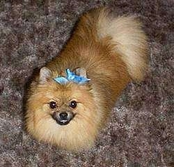 View from the top looking down - A small breed tan Pomeranian is laying on a carpet and it is looking up. It has a blue ribbon to the left of its right ear.