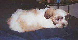 The back side of a tan and white with black Shih-Poo puppy that is laying across a blue couch and it is looking forward.
