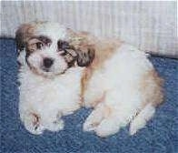 A tan and white with black Shih-Poo puppy is laying on its side, it is looking up and it is laying against a couch.