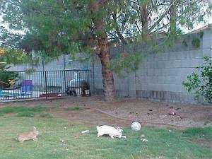 A white rabbit is standing in dirt and there is a brown rabbit behind it. They are enclosed by a cinder block wall.