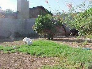 A white rabbit is inspecting the grass in front of it. It is in a backyard that has a cinder block wall around it.