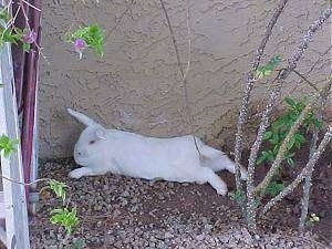 A white rabbit is laying stretched out in dirt along the backside of a wall.