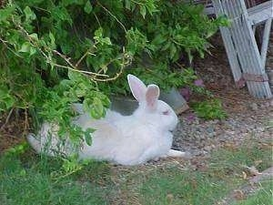 A white rabbit is laying in grass under a bush looking to the right.