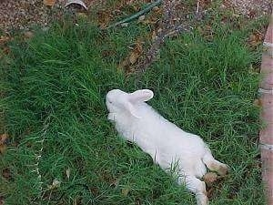A white rabbit is laying stretched out in grass.