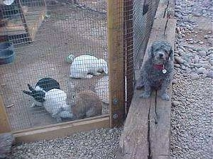 A gray Toy Poodle is sitting on a wooden log and it is looking forward. Next to it is a pen filled with rabbits.