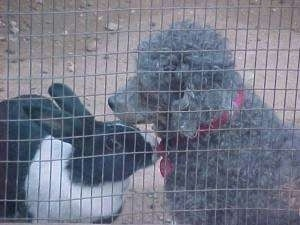 A gray Toy Poodle is sitting in dirt and in front of it is a black with white rabbit sniffing it.