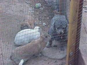 A gray Toy Poodle is standing inside of a pen fence and it is looking forward. There are three rabbits looking at it.