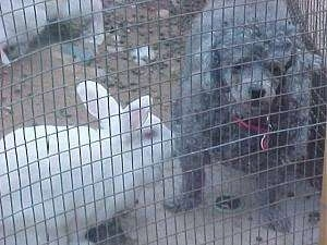 A white rabbit is standing in front of a gray Toy Poodle dog. The Poodle is looking out of the pen.