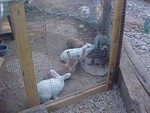 A gray Toy Poodle dog is standing inside of an outside rabbit pen against the fence with four rabbits surrounding and inspecting it.