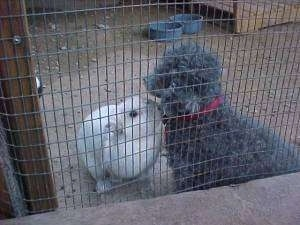 A gray Toy Poodle dog is sitting against the side of a pen and A white rabbit is sniffing its neck.