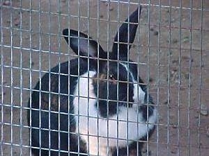 A black with white rabbit is sitting in dirt and it is looking out of a pen.