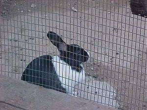 The side of a black with white rabbit is looking to the right. It is sitting on a rock inside of an outside pen.