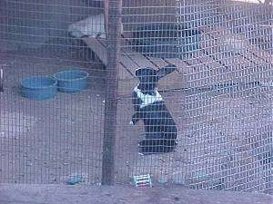 A black with white rabbit is sitting on its backside and it is looking to the left inside of an outside pen with a white rabbit in front of it.
