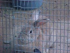 A brown with white rabbit is laying in dirt and it is looking out of the pen it is in.