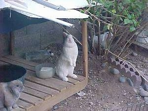 A Florida white rabbit is standing on its back legs and it is lifting itself up to look over an item. There is a clear bowl behind it. Across from it is a brown with white rabbit that is looking to the right.