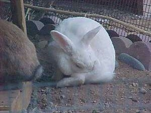 A Florida white rabbit is scratching an itch and in front of it is a brown with white rabbit. They are in an outside pen.