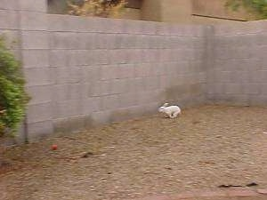 A white rabbit is running around a dirt yard that has a cinder block wall around it.