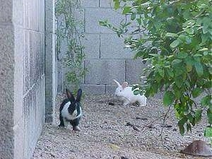 A black with white rabbit is running alongside a cinder block wall with a white rabbit running behind it.