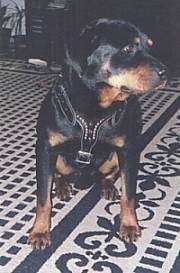 A black and tan Rottweiler is sitting on a rug and it is looking to the right.