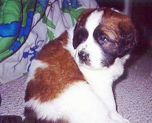 The right side of a small brown and white with black Saint Bernard puppy is sitting across a carpet and it is looking to the left.
