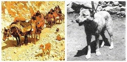 Left Photo - A Sage Ashayeri dog is walking next to a herd of cattle on the move. Right Photo - A black and white photo of a tan dog with small ears standing in dirt.