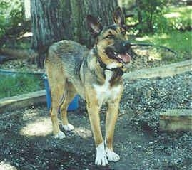 A black with tan and white German Shepherd/Collie mix is standing in dirt and behind it is a large tree. Its mouth is open and tongue is out.