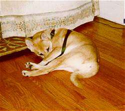 The left side of a tan with white Shiba Inu that is laying across a hardwood floor and it is licking its legs. The dog is wearing a harness.
