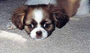 Close up view from the front - A white with brown and black Shih-Tzu mix puppy is laying down on a tan carpet.