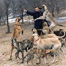 A pack of Sloughi dogs are surrounding a man outside. One is on its hind legs, One is Mid-Air and Another one is on the Owners legs