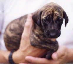 Close up - A small brown brindle Sloughi puppy is being held in the air by a persons hand.